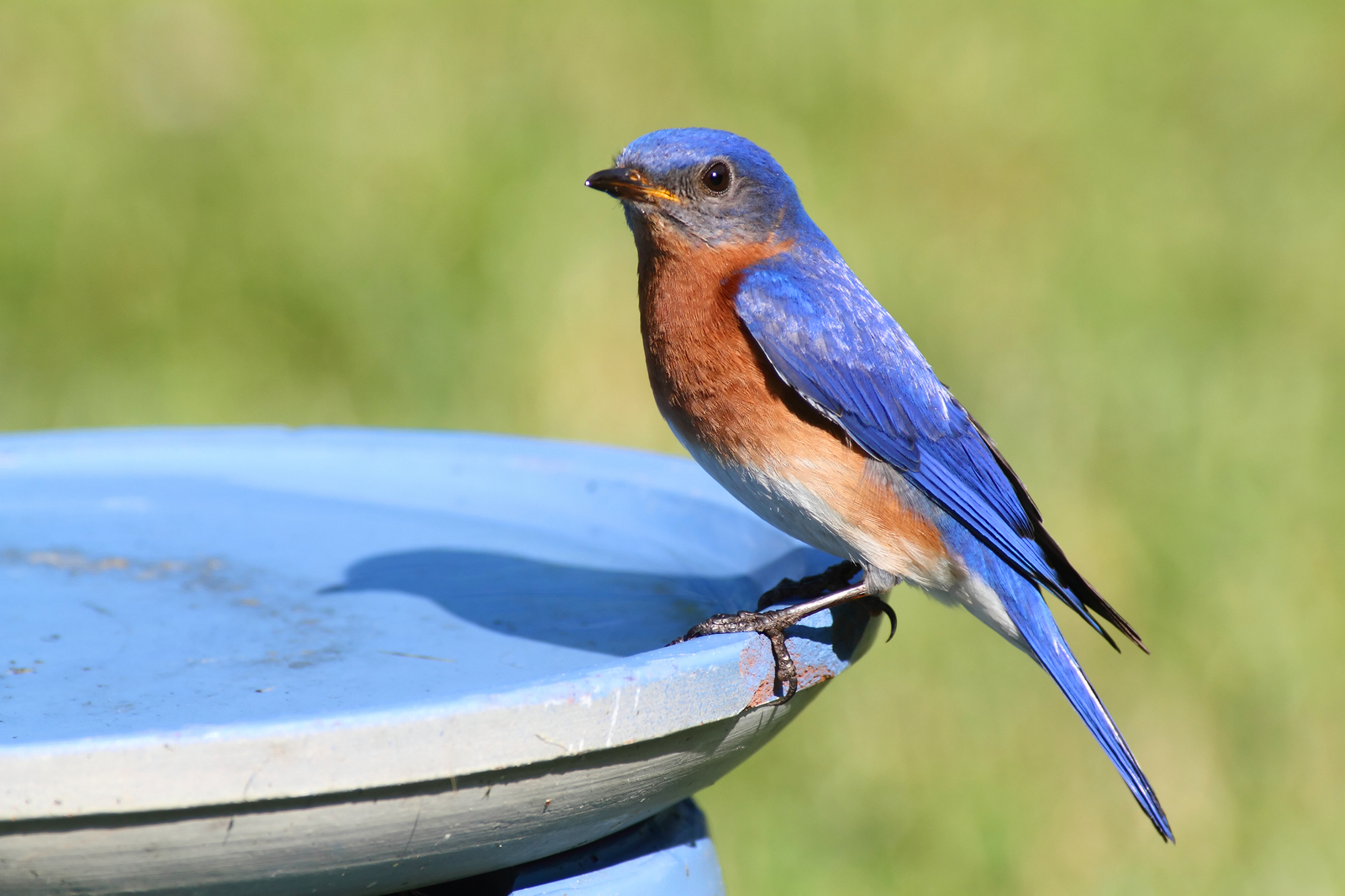 Eastern Bluebird (Sialia sialis) in a bird bath